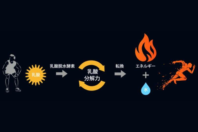 乳酸を効率的にエネルギーに転換